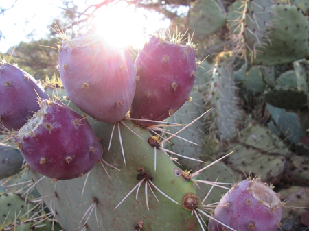Prickly pear fruit and the sun