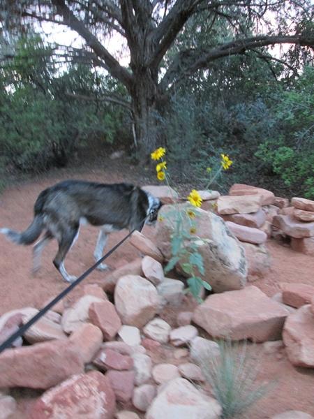 Bongo behind the sunflowers