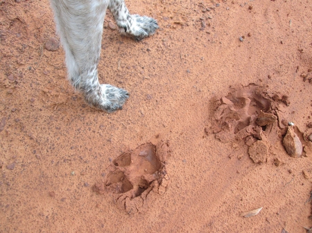 Bongo's paws next to some much larger paw prints