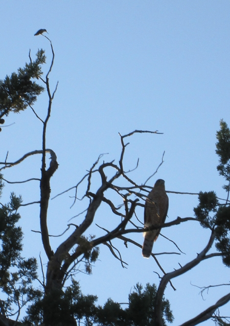 Hummingbird and hawk in a tree