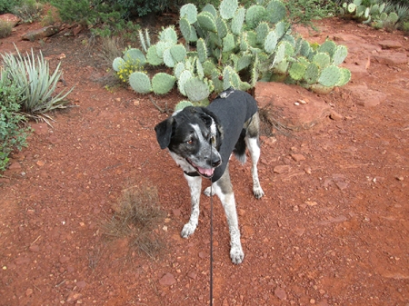 Bongo in front of cactus with his leash taut