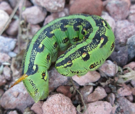 Large green caterpillar with intricate patterns