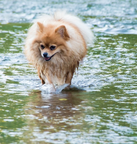 Pomeranian swimming in Oak Creek