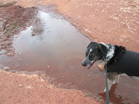 Bongo and raindrops in his puddle