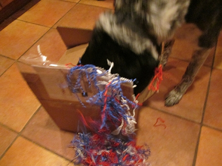 Bongo with his head in a box full of red, white, and blue crinkles