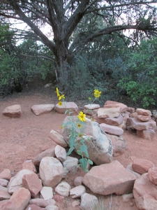 Sunflowers amid a collection of rocks
