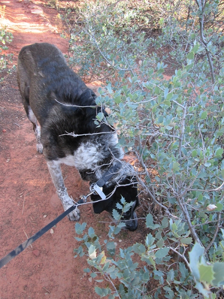Bongo sniffing a bush and blocking the trail