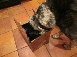 Bongo with his head in a box