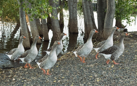 gaggle of geese