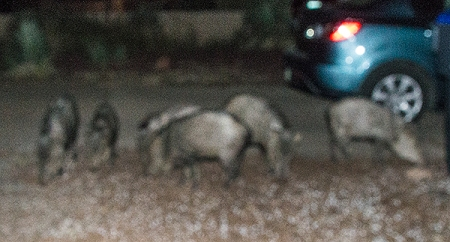 Javelinas in the yard
