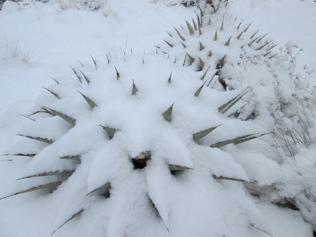 Agave plants covered in snow