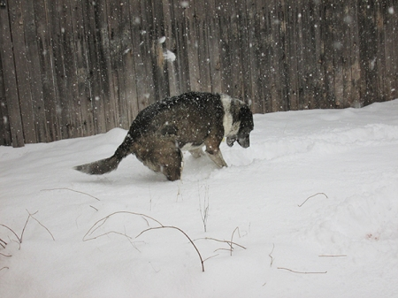 Bongo dragging a frisbee in the snow