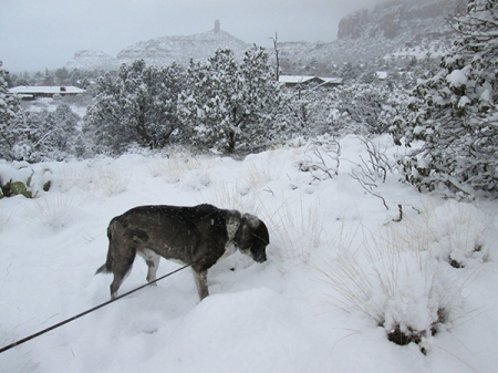 Bongo sniffing another bush in the snow
