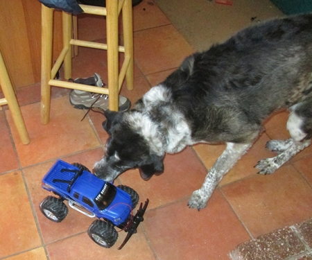 Bongo trying to get the remote control truck