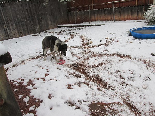 Bongo dragging a frisbee in the snow.