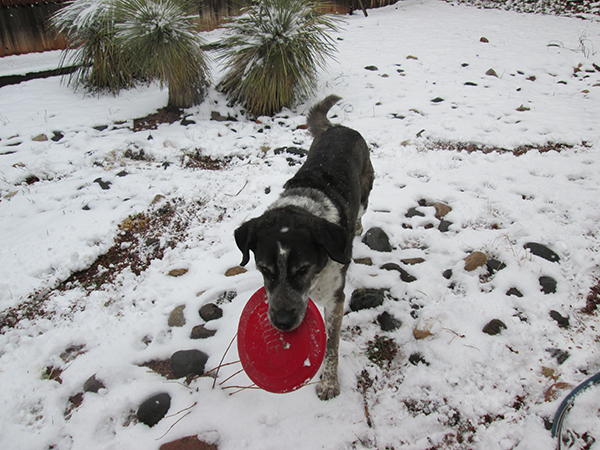 Bongo carrying a frisbee on a snowy day.