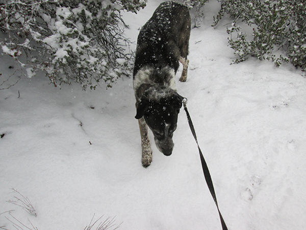 Bongo on the trail in the snow