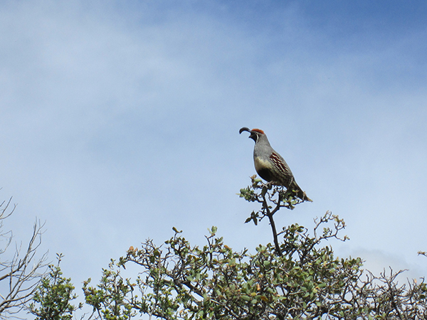 Male quail in a tree