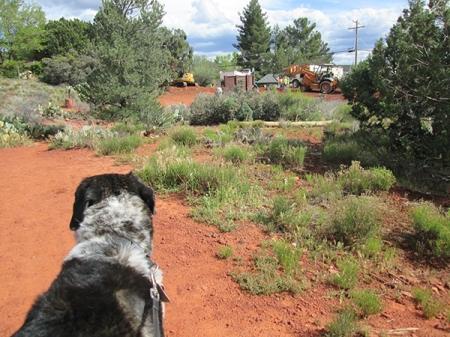Bongo watching the construction vehicles